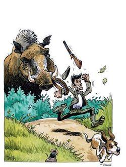 Un sanglier qui attaque un chasseur