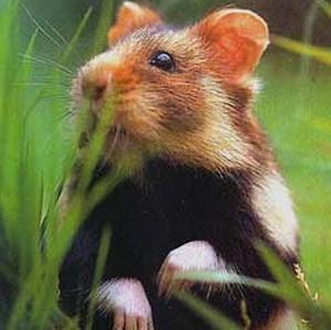 Grand Hamster d'Alsace : la France sous la menace d'une sanction européenne