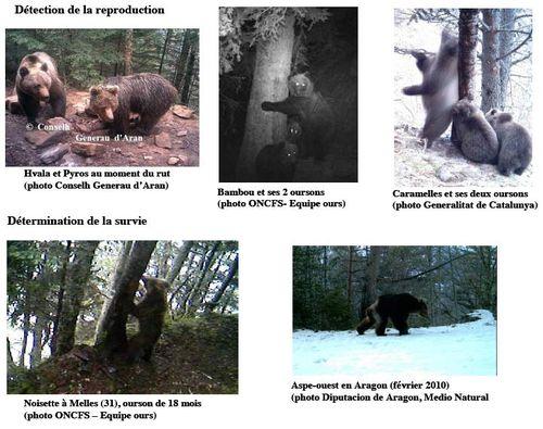 Un effectif minimum de 19 ours en 2010