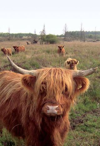 Des vaches Highland-Cattle sur le plateau des Tailles