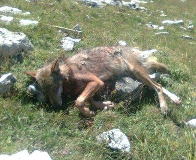 Un deuxième loup a été tué dans le cadre des tirs de prélèvement 2011. Le loup abattu à Saint-Etienne-en-Dévoluy