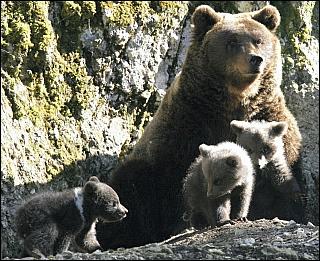 Ariège : une Une portée de 3 oursons en 2011