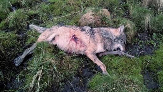 Allemagne : un loup tué par balle