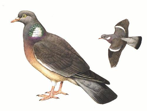 La palombe ou pigeaon ramier. L'oiseau bleu