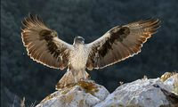 Aigle de Bonelli (Photo Thierry Vezon)