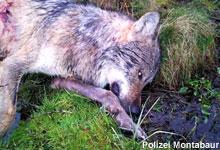 Loup braconné en Allemagne