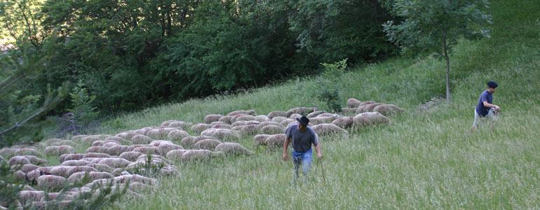 le métier de berger