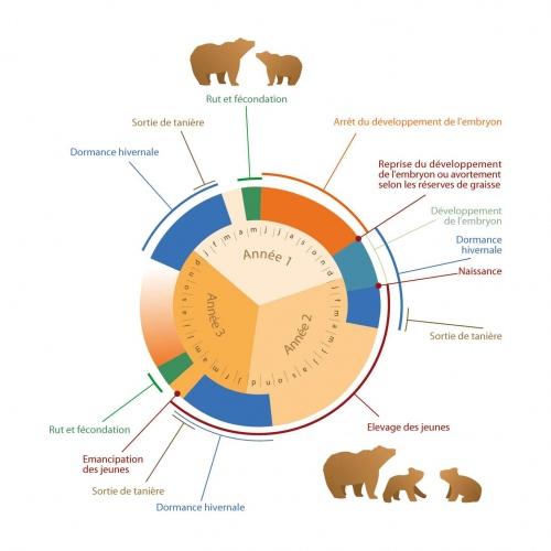 Cycle de l'ours