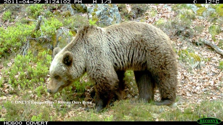 Histoire de l'ours dans les Pyrénées
