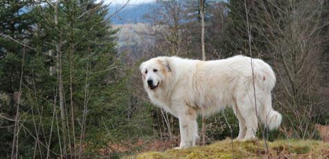 image de chien patou - Image De