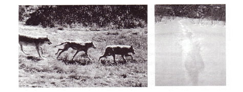 Loups (Canis lupus) à la queue leu leu