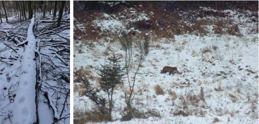 Des indices de présence de Chat forestier ont régulièrement été rapportés lors des suivis hivernaux