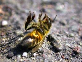 abeille mort