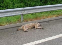 Loup tué sur la route