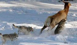 Suisse : Les loups jouent bien leur rôle de prédateurs d'ongulés sauvages