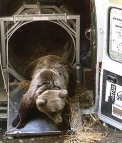 Comité de Massif : Quel contenu pour le volet ours brun de la Stratégie Pyrénéenne de valorisation de la Biodiversité?