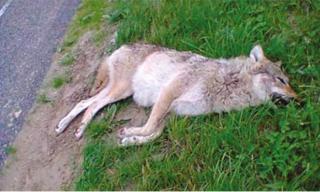 La louve subadulte retrouvée morte sur la route entre Luttelgeest et Marknesse dans le Noordoostpolder Le 4 Juillet 2013