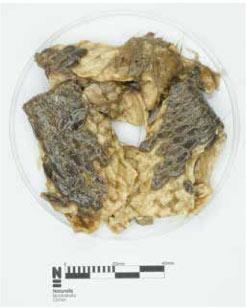 Les restes de castors retrouvés dans l'estomac du loup.
