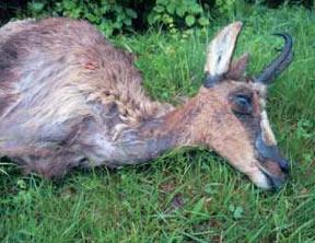 Lésions cutanées et amaigrissement chez une femelle d'isard morte de pestivirose (image ONCFS)