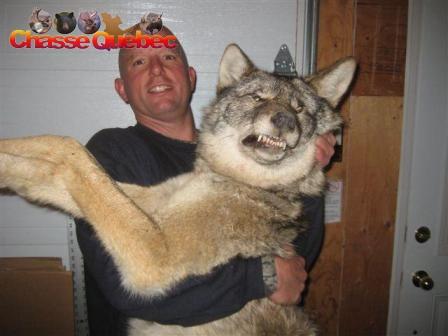 Quand les hybrides de loups et de chiens couraient la campagne