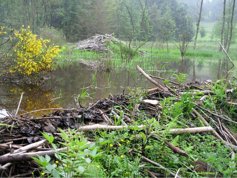 Zones humides castors