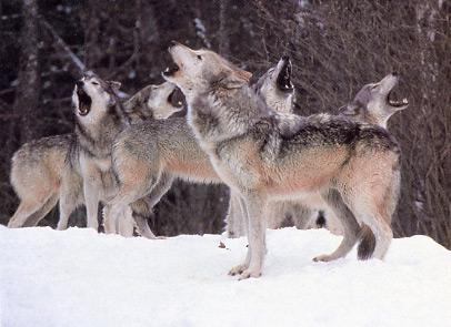 Loups en meute