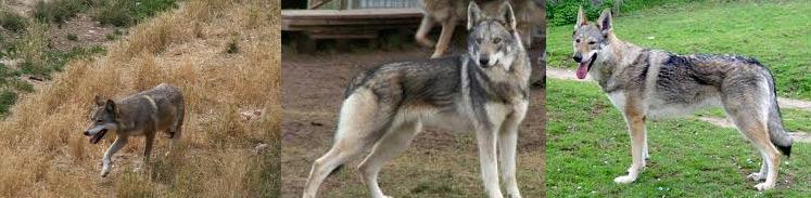 Loup ou chien ?