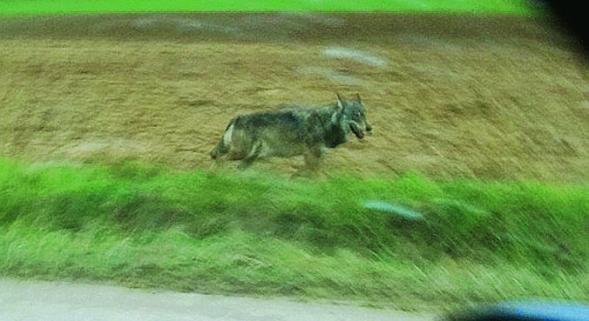 Un loup avait été pris en photo le 6 janvier sur la commune de Poivres, près de Mailly-le-Camp
