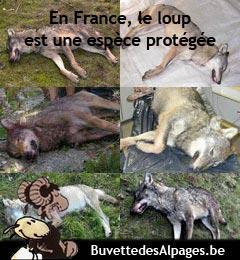 Loups tues