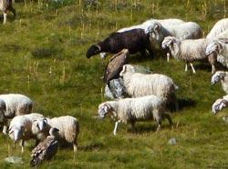 Brebis-et-vautours