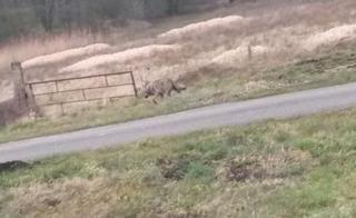 Photo de loup près D'emmen (Pays-Bas)