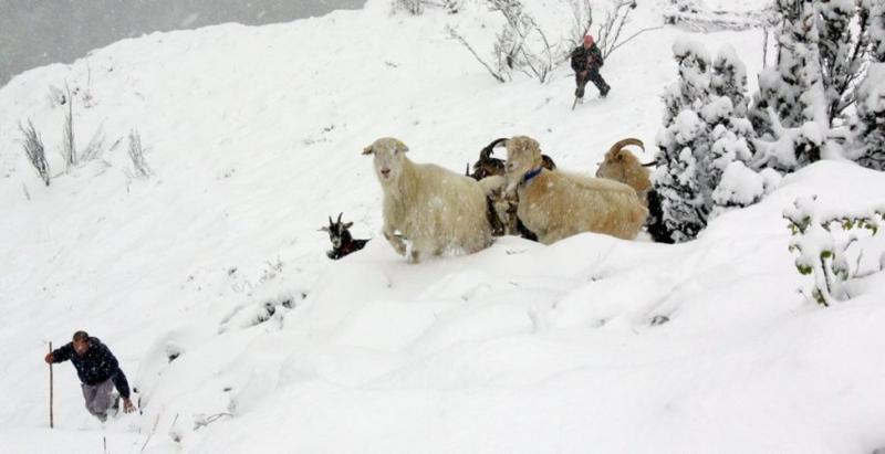 Après une heure de recherche dans la neige, 21 chèvres du troupeau de J.-P. Cerrada ont finalement été retrouvées. Photo Laurent Dard