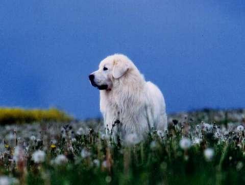Vigilance_chien_protection_podhale
