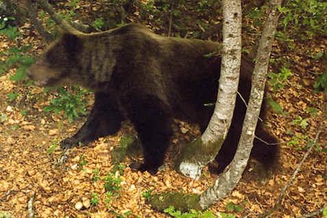 l Photo de l'ours Papillon (piège photographique) Jean-Jacques Camarra