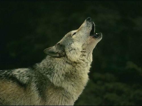 Cri_loup_wolf_howling_02