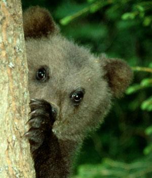 Attaques d'ours : les statistiques bousculent les idées reçues
