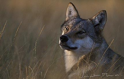 Vincent Munier Photo Vincent Munier Wildlife